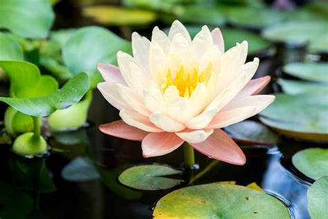 water lily  lotus plant care growing guide