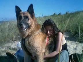 belgian shepherd texas breeders biggest german shepherd on record galleryhip com the