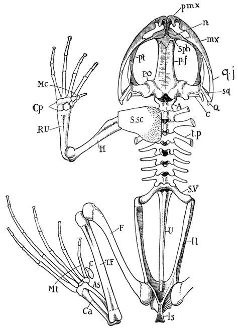 Frog Skeleton | ClipArt ETC