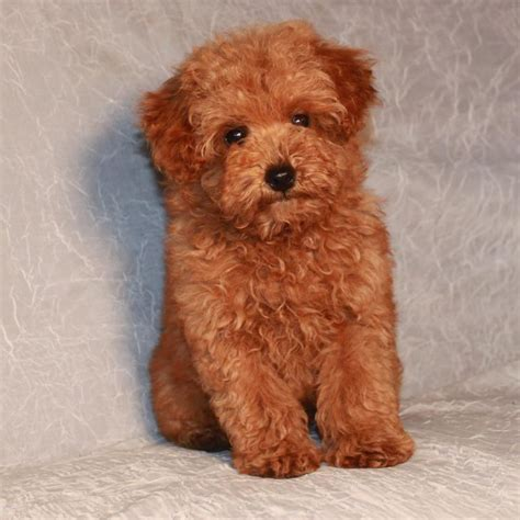 poodle for sale miniature poodles for sale akc poodles apricot poodles
