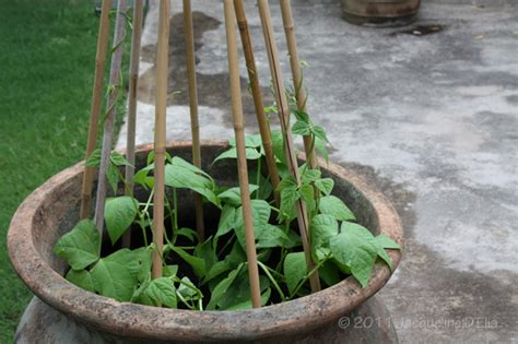 container gardening green beans tips for container gardening in houston