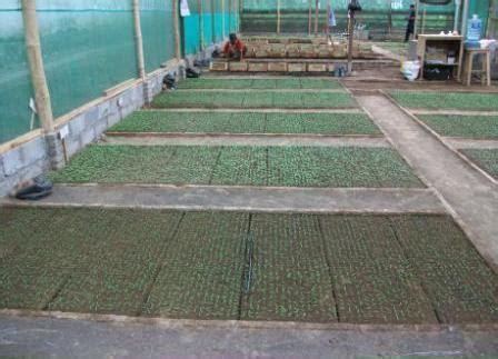 Bibit Jagung Pertiwi membuat media semai tanpa polibag benih pertiwi