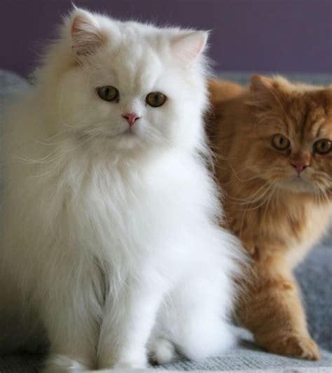 imagenes geniales de gatos los gatos m 193 s bonitos del mundo 14 razas de gatos bonitos
