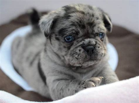 bull and pug pug and bulldog miniature bulldog pug mixed breeds