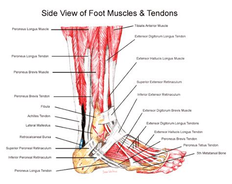 Ligaments and Tendons of the FOOT | Human Anatomy Foot Arch Muscles