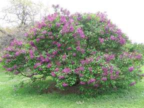lilacs bush lilac bush sold out
