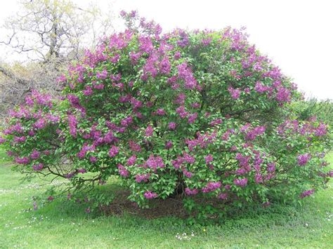 lilacs bush when and how to prune a lilac bush lilac bushes and lilacs