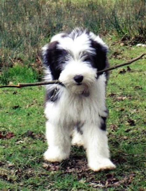 border collie puppies for sale in michigan bearded collie puppies for sale pets corner bearded collies dogs