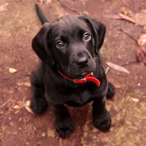 9 week lab puppy 9 week puppy labrador retriever labradors and labs