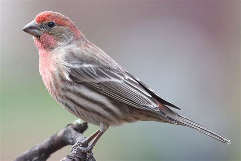 finch houses house finch carpodacus mexicanus