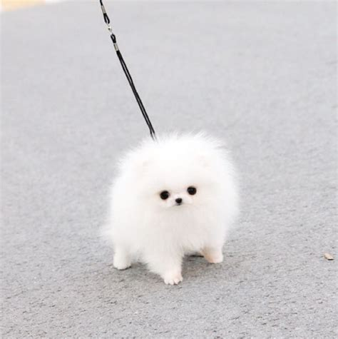 micro teacup white pomeranian micro teacup pomeranian white fluffy things