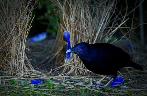 uccello giardiniere vita da uccello giardiniere un nido a tinta unita
