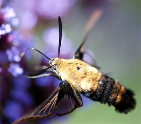 bird or bee hummingbird moth here s a creature with an