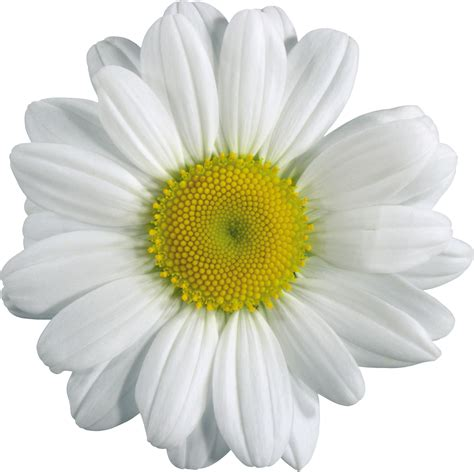 flower image camomile png image free picture flower download