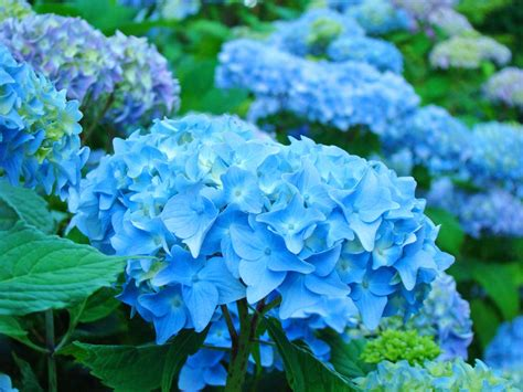 Blue Garden Flower Summer Flower Blue Summer Flowers