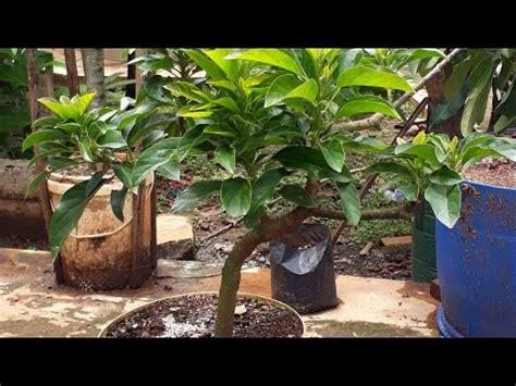 Bibit Alpukat Kaki Ganda bibit durian mhontong 2 mtr doovi