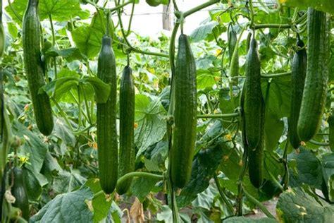 Cucumber Cultivation Information Guide   AsiaFarming.com