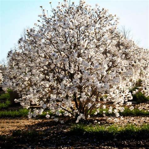 royal star magnolia tree  tree center