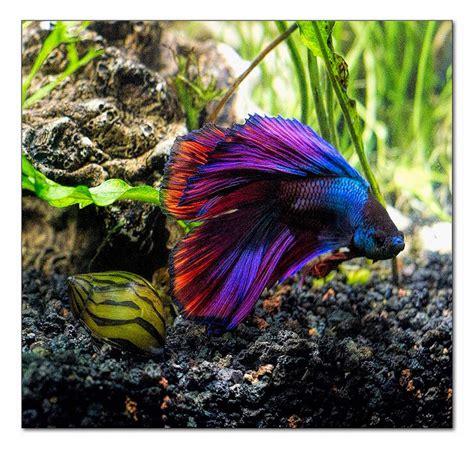 betta colors siamese fighting fish multi color betta