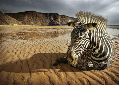 Zebra Print Wall Murals wild zebra wall murals homewallmurals co uk