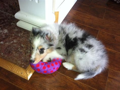 puppy curling 17 best images about sheltie