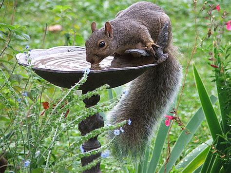 squirrels drinking a gallery on flickr