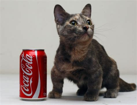 worlds smallest cat  iz set    superstar