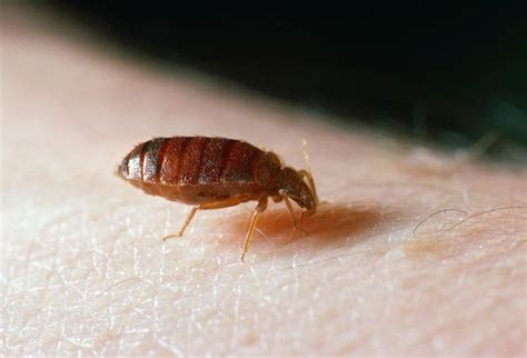 How Are Bed Bugs Spread by Bedbugs May Spread Lethal Disease Study Ny Daily News