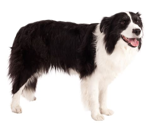 Do Collies Shed by Border Collie Breed Health History Appearance