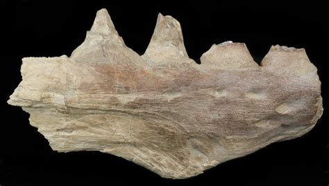 section 8 in kansas 3 8 quot mosasaur platecarpus jaw section kansas for sale