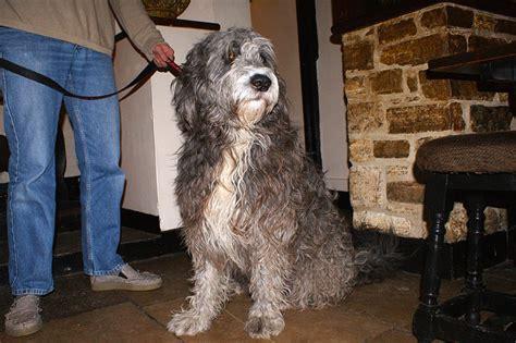 sheepdog mixed with golden retriever golden retriever sheepdog cross canis lupus hominis