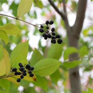 tree berry identification images