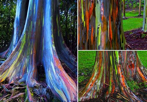 colorful tree eucalyptus rainbow the most colorful tree in the world