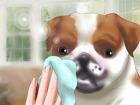 how to care for a pug puppy how to care for a pug 12 steps wikihow