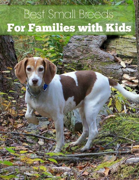 small house dogs good with kids small dog breeds that are great with kids dogvills
