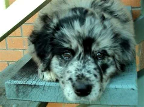 australian shepherd x golden retriever australian shepherd x golden retriever 8 weeks on the steps