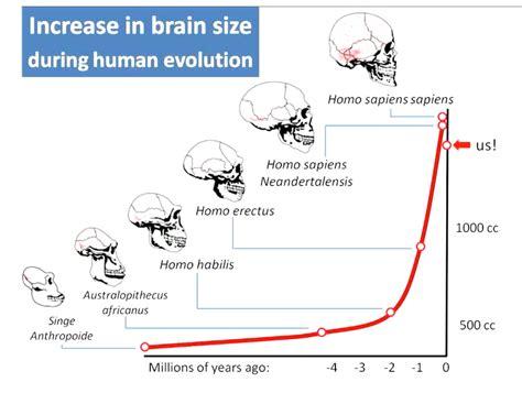brain size evolution of the human brain