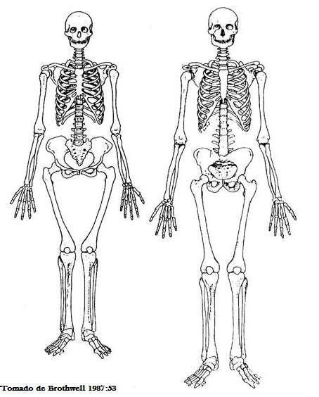 colocar cadenas gorila 191 los hombres tienen una costilla mas que las mujeres