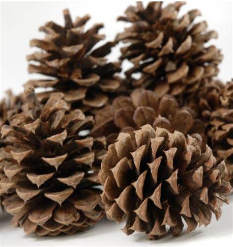 pinecones pinecones a plenty pinterest