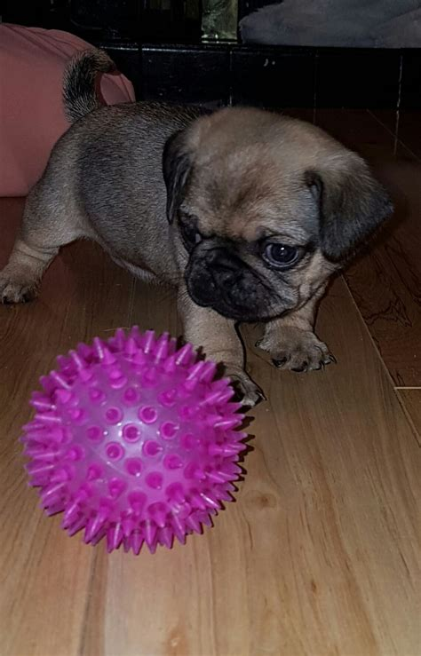 pug puppies for sale in bristol pugs for sale bristol bristol pets4homes