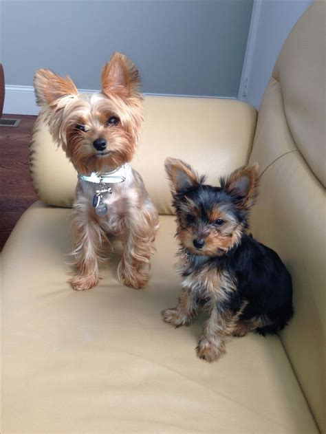 yorkies hair cut yorkie summer haircuts pictures newhairstylesformen2014