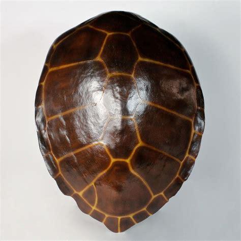 hawksbill sea turtle shell