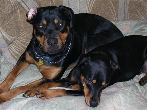 rottweiler puppy names and meanings rottweiler dogs www pixshark images galleries with a bite