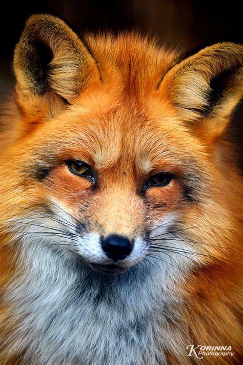 best fox pictures ravaszdi aranyosi ervin versei