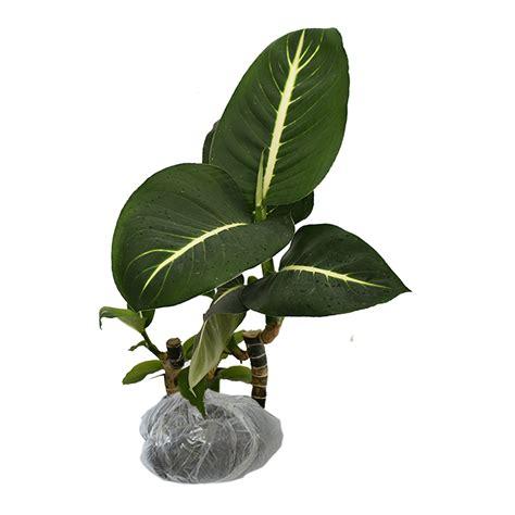 Tanaman Hias Aglonema tanaman aglaonema green bibitbunga