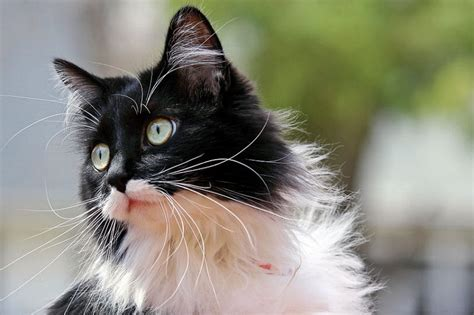 theme names for kittens 10 terrific names for a tuxedo cat the purrington post