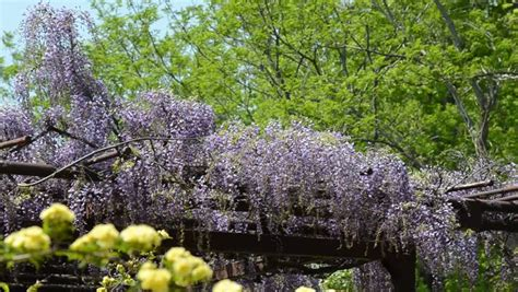 wisteria meaning wisteria definition meaning