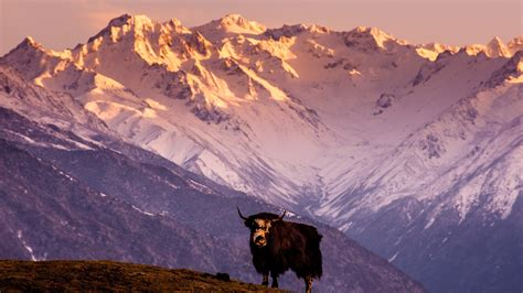 nature animals landscape yaks himalayas tibet china