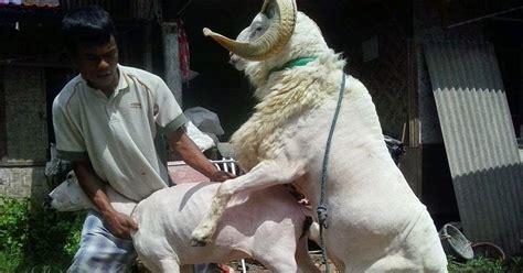 Kontak Jual Bibit Kambing Garut asgar lestari jual beli domba garut