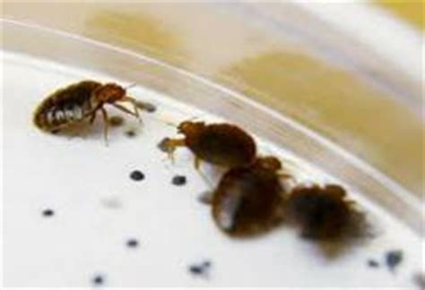 Causes Of Bed Bugs by Bed Bug Infestation Causes Whitehaven Center Students